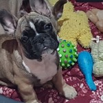 Adorable french bulldogs ready now