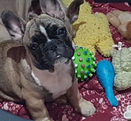 Pets  - Adorable french bulldogs ready now