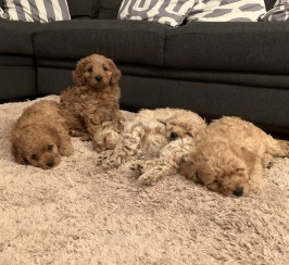 5 Gorgeous Cavapoo puppies for sale