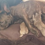 Bully litter of 4 pups blue & grey