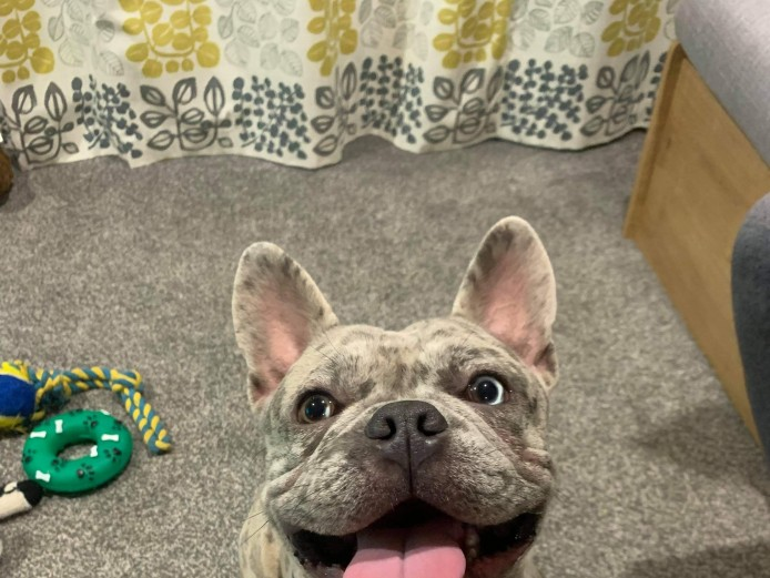 Kc registered lilac merle Frenchie