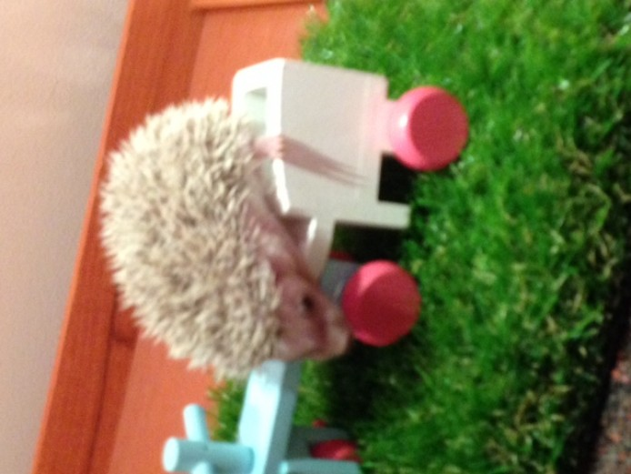 beautiful friendly african pygmy hedgehog babies for sale