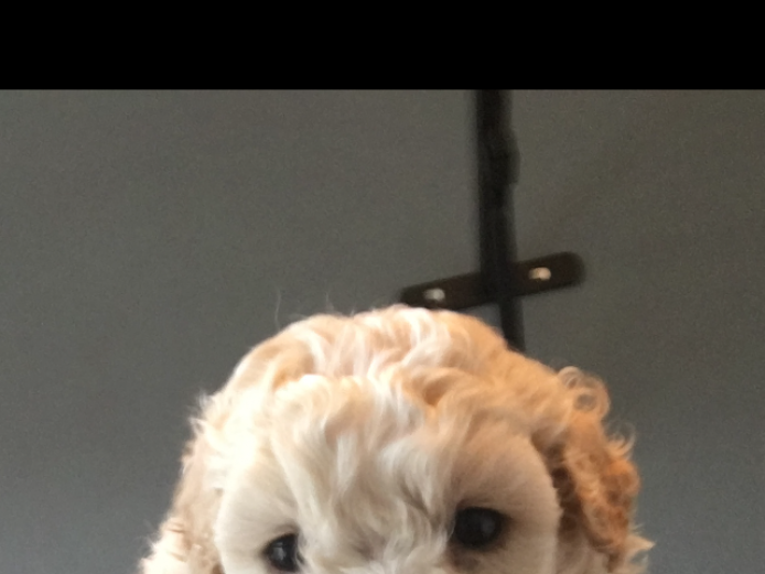 Adorable cavachon x jackapoo puppies