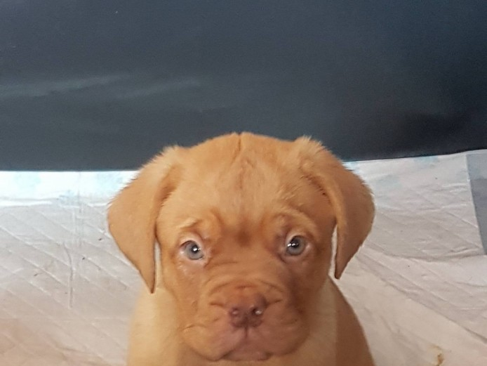 KC reg lovely douge de bordeaux