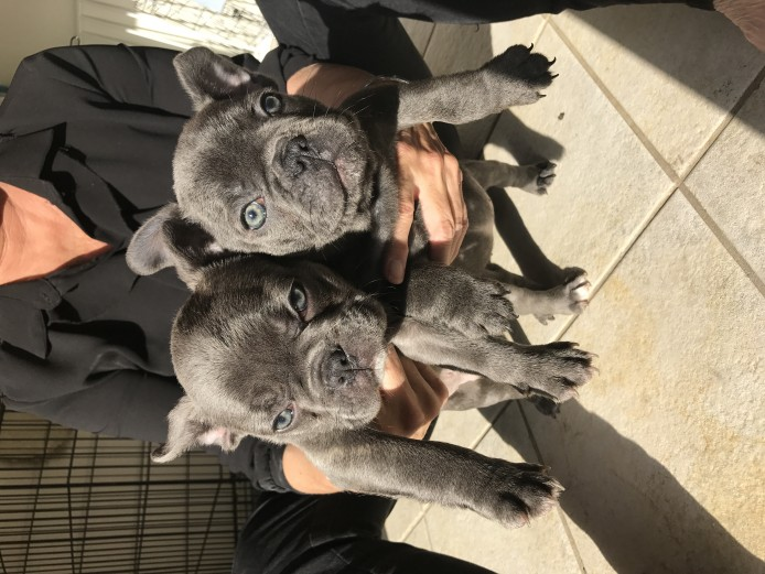 Stunning triple carrier French bulldogs