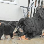 tibetan mastiff breeding plan