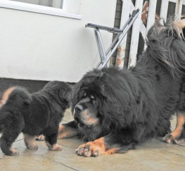 Pets  - tibetan mastiff breeding plan