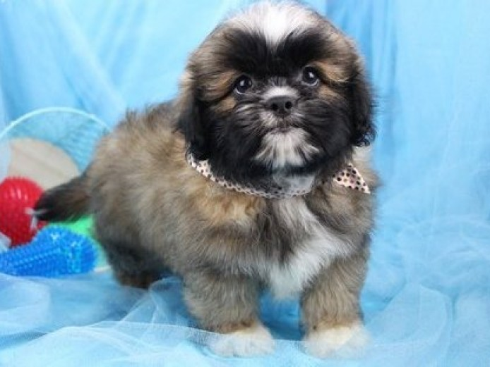6 Pure Breed Pedigree Lhasa Apso Puppies