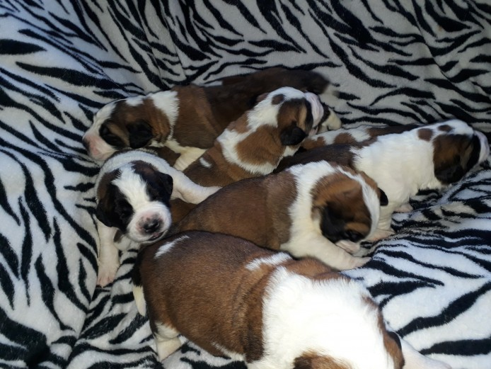 Very chunky K.C registered st Bernard puppies