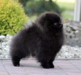 Pets  - Mini Blue Pom; Onyx Prince