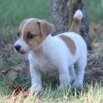 Beautiful Miniature Jack Russell Puppies