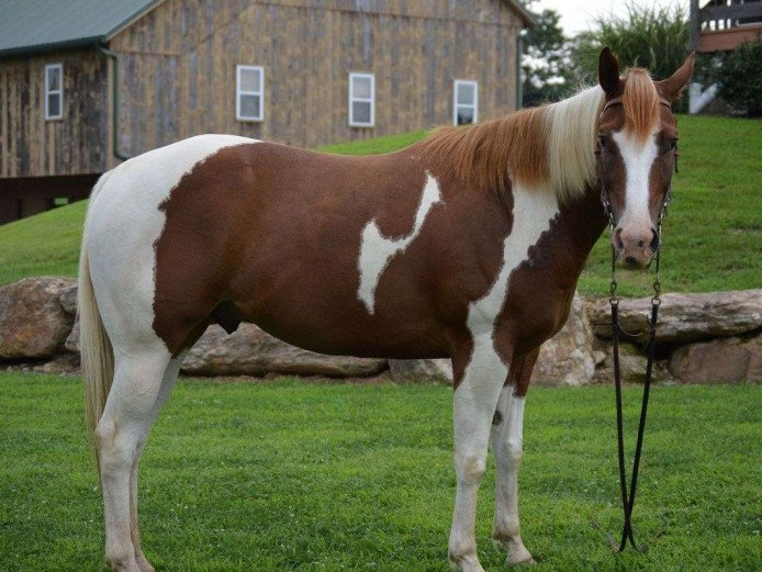 All Around, Athletic Paint Gelding