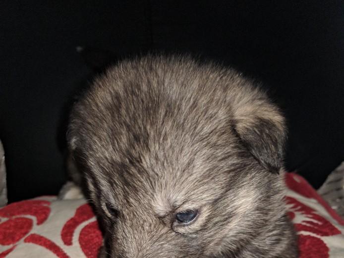 Sibian huskeys pups