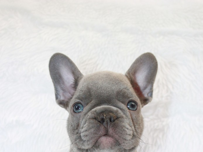 Gorgeous Blue Brindle and Lilac Puppies For Sale
