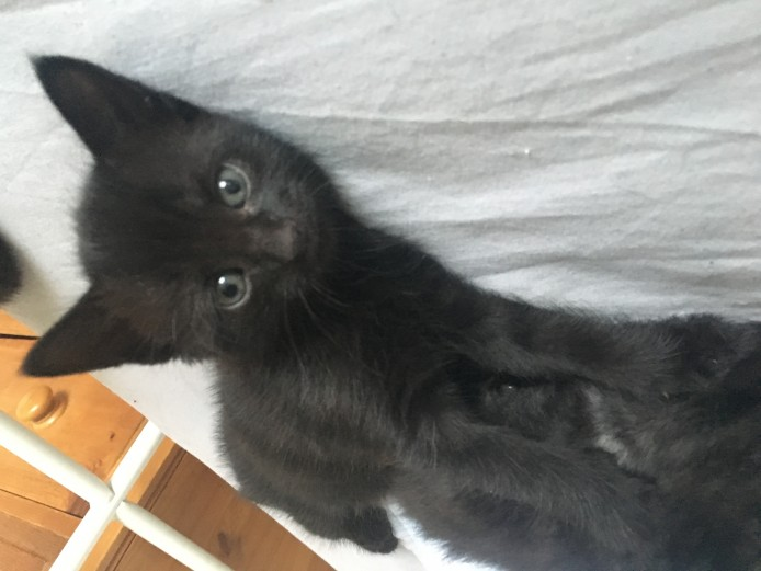 Black male kittens for sale