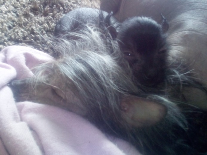 Small Chinese crested puppies