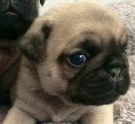 Kc Registered Pug Puppies