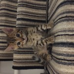 Beautiful Bengal kitten queen