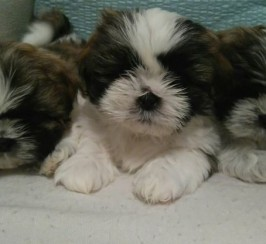 1 female and 2 male puppies for sale