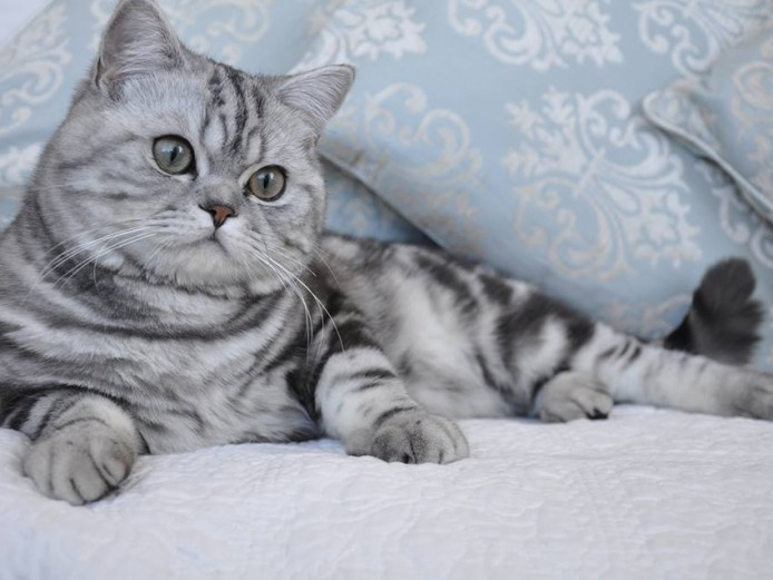 Beautiful large silver tabby bsh boy