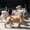 Pets  - American Bully Pups