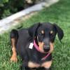 Pets  -  For sale Doberman puppies