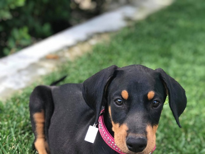 For sale Doberman puppies