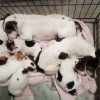 Pets  - Jack Russell pups for sale