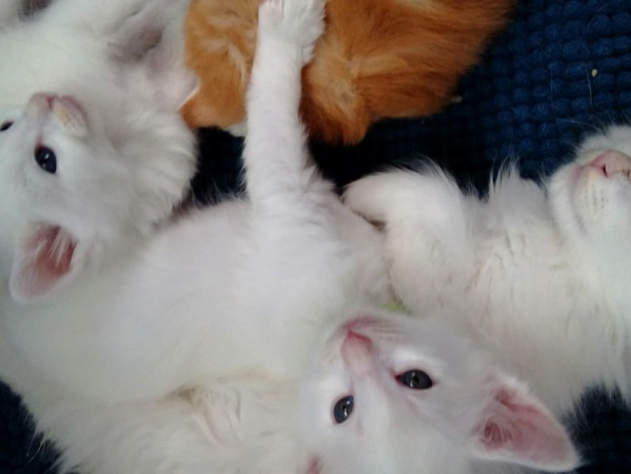My fully pedigreed Norwegian Forest kittens are available.