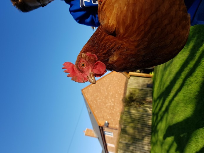 High Quality Point-of-Lay Chickens/Pullets/Hens.