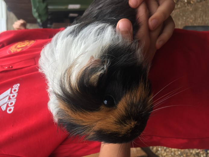 Guinea pigs various breeds and colours teddy's