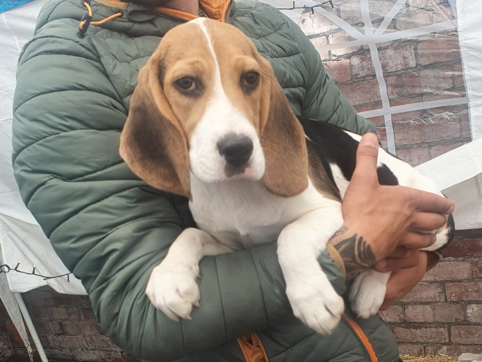Beagle pups for sale
