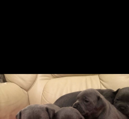 Pets for Sale - Litter Of Blue Staff Staffordshire Puppies