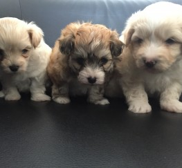 Pets  - 3 x Maltipompoo puppies for sale