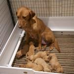 Litter of Labrador Retriever Puppies