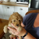 Premium Teacup Poodle Puppies For Sale