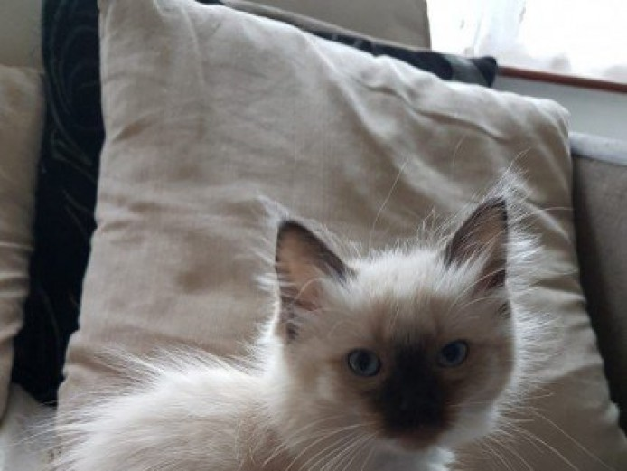 2 Seal Mitted Ragdoll Kittens for Sale