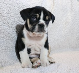 Black tri female bulldog available