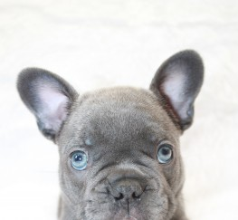 Pets  - Gorgeous Blue Brindle and Lilac Puppies For Sale