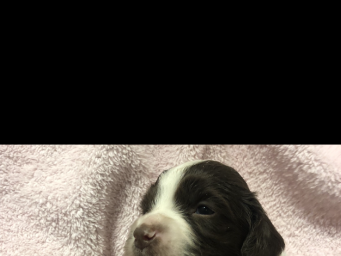 ENGLISH SPRINGER SPANIEL PUPPY PACKAGE