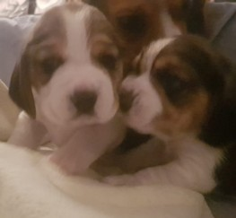 Pets  - KC registered beagle pups