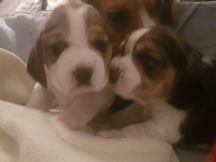 KC registered beagle pups