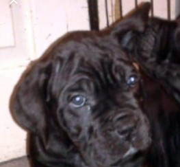 Pets  - Cane corso puppies for sale