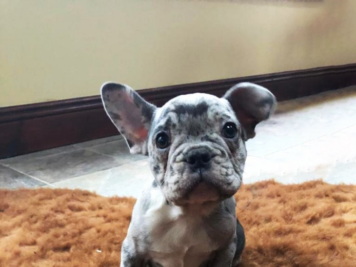 Amazing RARE BLUE MERLES French Bulldog Puppies For Sale