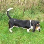 Fantastic Quality Basset Hound At Stud