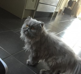 Pedigree Blue Persian For Sale