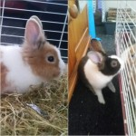 2 beautiful friendly male Dutch rabbits