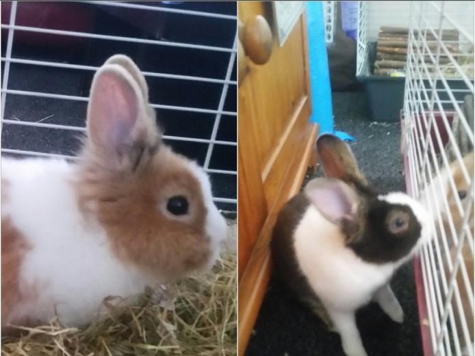 2 beautiful friendly male Dutch rabbits