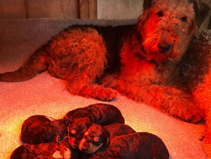 Kc Reg Airedale Pups Extremely Low Hipscores