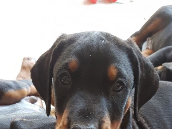 13 Gorgeous Dobermann Puppies KC Registered